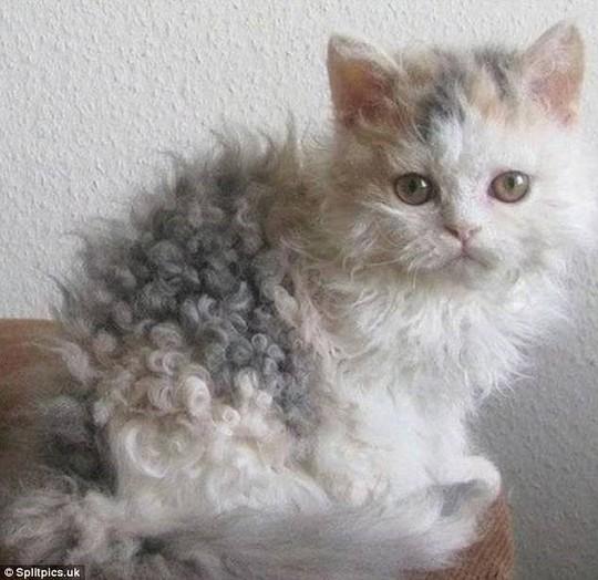 Những chú mèo có bộ lông độc đáo ai cũng phải bật cười - Ảnh 7.