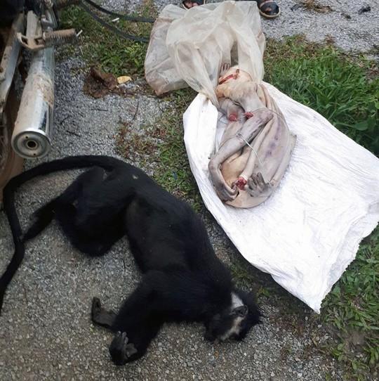 Phát hiện 2 con Voọc Hà Tĩnh bị cạo sạch lông, mổ lấy nội tạng - Ảnh 2.