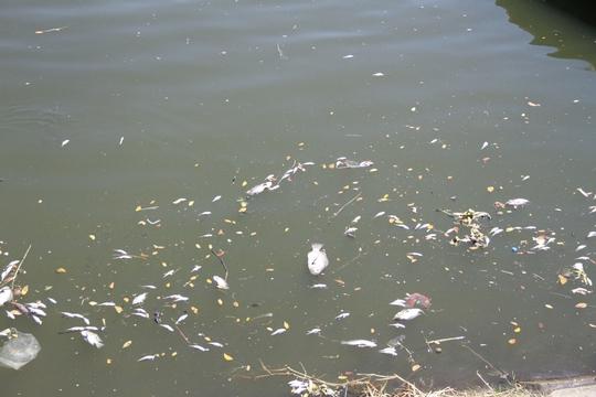 Cá lại chết trắng sông Phú Lộc