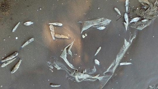 Hải sản chết bất thường ở Kiên Giang - Ảnh 2.