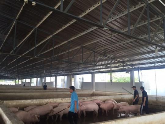 Thủ phủ nuôi heo tạm dừng dự án chăn nuôi heo - Ảnh 1.