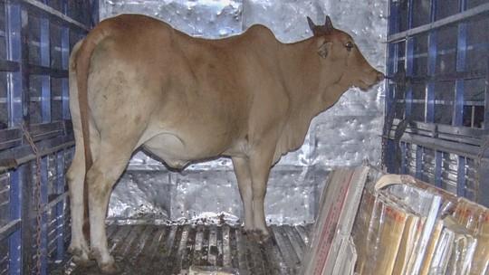 2 tài xế mưu trí lật mặt kẻ trộm bò chuyên nghiệp - Ảnh 2.