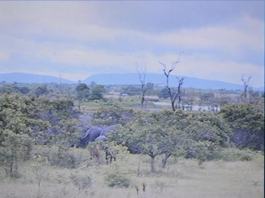 Giành voi cái, voi rừng tấn công voi nhà đến chết - Ảnh 1.