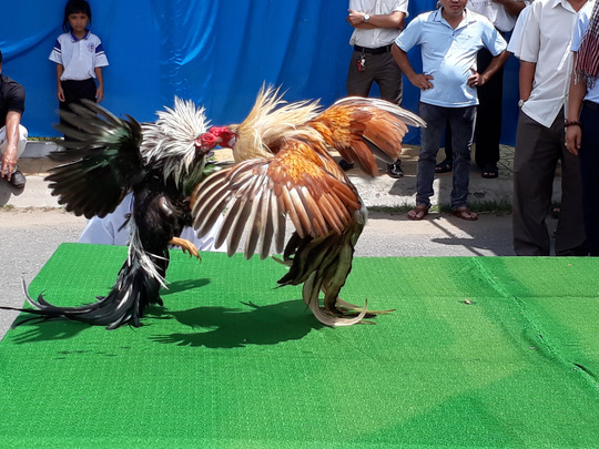 Chọi gà tre Tân Châu : Hết xuýt xoa đến cười sảng khoái - Ảnh 4.