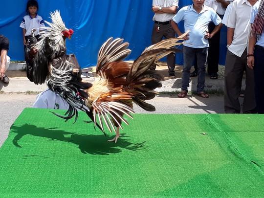 Chọi gà tre Tân Châu : Hết xuýt xoa đến cười sảng khoái - Ảnh 6.