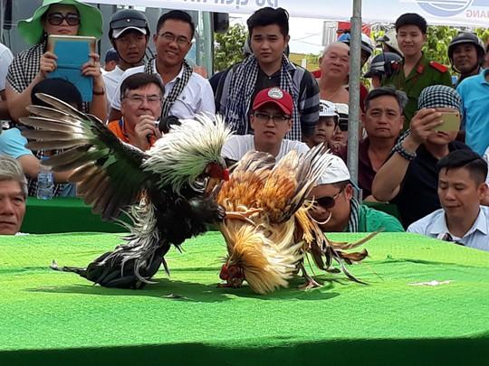 Chọi gà tre Tân Châu : Hết xuýt xoa đến cười sảng khoái - Ảnh 9.