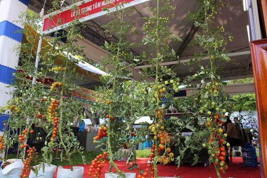 Bên cạnh rau sạch, nhiều giống cây được trồng với công nghệ cao mới cũng được giới thiệu tại hội chợ. Cà chua bi được trồng trên giá thể, bón phân bằng dung dịch dinh dưỡng kết hợp với hệ thống tưới nhỏ giọt. Cây có thể cao hơn 3m, cho sản lượng 150 tấn/ha/năm.
