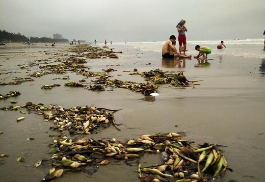 Cả một khu vực dài khoảng 1 km phủ kín bèo tây nhưng không hề thấy lực lượng chức năng tổ chức làm sạch bờ biển