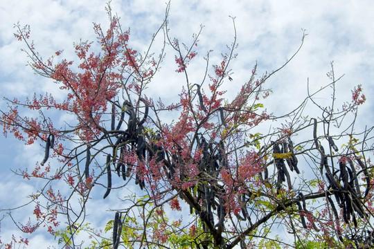 Ô môi nở hoa vào những ngày tháng 3 âm lịch