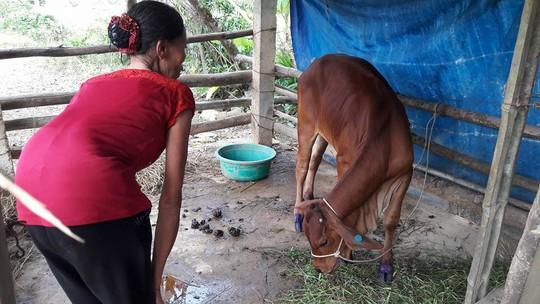Cấp bò lở mồm long móng cho dân nghèo - Ảnh 2.