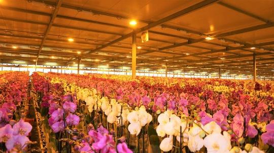 Khu Levoplant - chuyên hoa phong lan