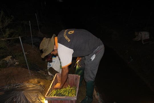 Ông Chử đang chuẩn bị mang măng tây sau khi thu hoạch về nhà