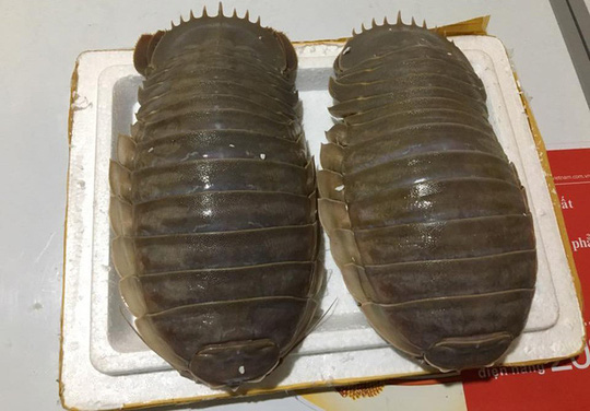 Bọ biển khổng lồ: Món nhậu lạ của dân Hà thành - Ảnh 1.