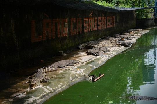 Hàng vạn con cá sấu đói lả 'chờ chết' - Ảnh 1.