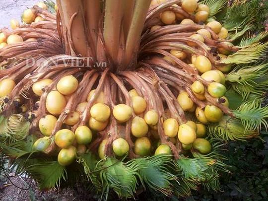 Đổ xô xem cây vạn tuế hiếm có đẻ 400 trứng vàng - Ảnh 1.