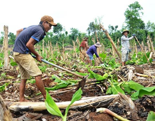 Dân Đồng Nai lại ồ ạt trồng chuối chờ Trung Quốc thu mua - Ảnh 1.