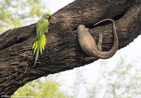 Xúc động tình mẫu tử của loài chim vẹt đuôi dài - Ảnh 1.