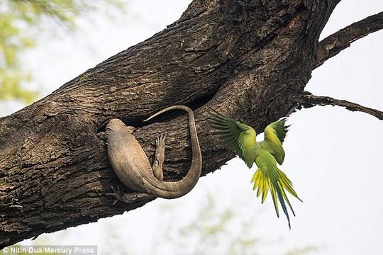 Xúc động tình mẫu tử của loài chim vẹt đuôi dài - Ảnh 2.