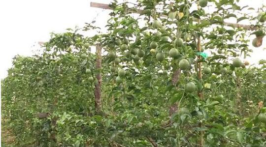 HAGL đang trồng gì, thu hoạch và bán ra sao? - Ảnh 1.