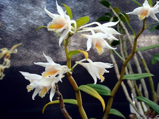 Chiêm ngưỡng hoa phong lan rừng Sa Pa - Ảnh 1.