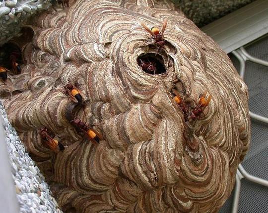 Tò mò nếm thử… ong vò vẽ cực độc ở miền Tây - Ảnh 2.