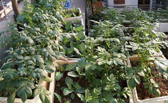 Khoai tây, bắp cải dày đặc trên mái nhà ở Hà Nội - Ảnh 1.