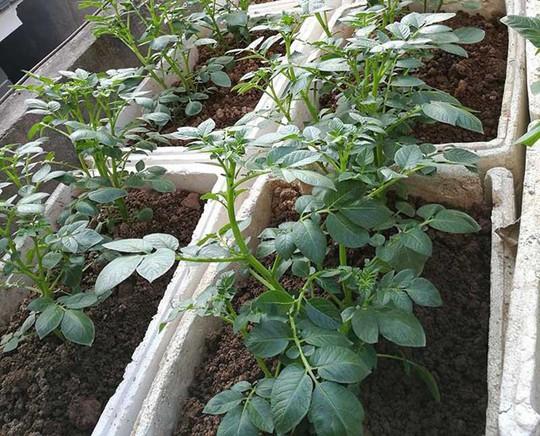 Khoai tây, bắp cải dày đặc trên mái nhà ở Hà Nội - Ảnh 2.