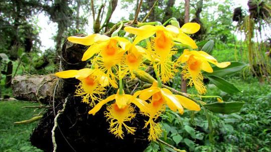 Chiêm ngưỡng hoa phong lan rừng Sa Pa - Ảnh 11.