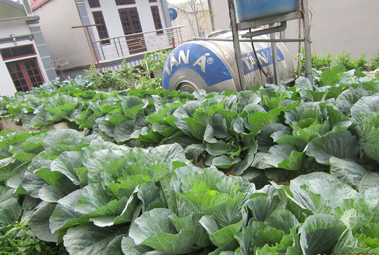 Khoai tây, bắp cải dày đặc trên mái nhà ở Hà Nội - Ảnh 20.