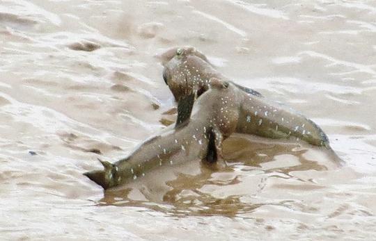 Khi chui từ dưới hang lên bãi sình, cá lác rất cảnh giác và không bao giờ đi quá xa miệng hang. Đôi mắt cá lồi, nhô lên cao để quan sát, chỉ cần phát hiện con người lại gần hay chim săn mồi lao tới, lập tức chúng lao nhanh xuống miệng hang. Lỗ hang ngay sau đó được lớp bùn nhão nhoét chảy xuống che kín.