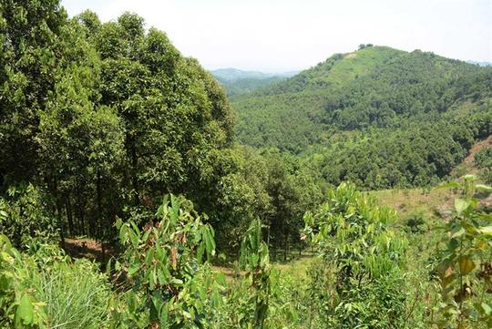 Có một rừng quế thiêng, thu hơn 500 tỉ mỗi năm - Ảnh 1.