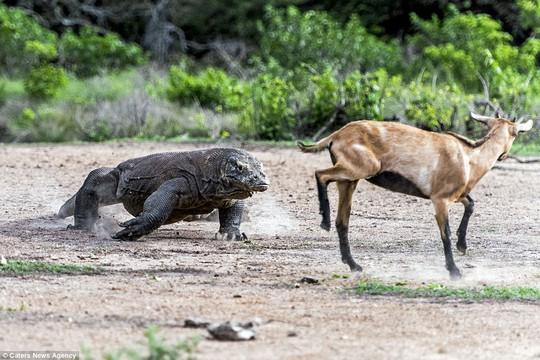 Chùm ảnh rồng Komodo tấn công con mồi - Ảnh 3.