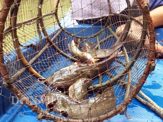 Săn cá ngát trên sông ở Cà Mau - Ảnh 1.