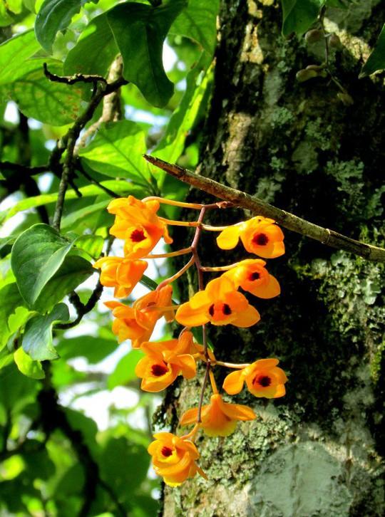 Chiêm ngưỡng hoa phong lan rừng Sa Pa - Ảnh 3.