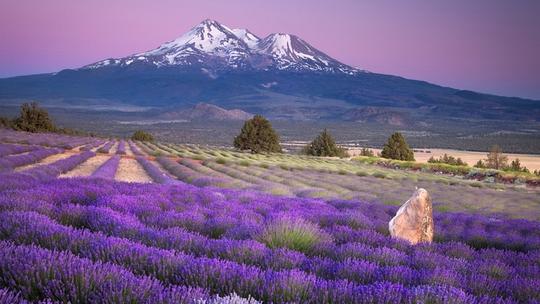 Thiên đường oải hương tràn sắc tím giữa lòng Provence - Ảnh 6.