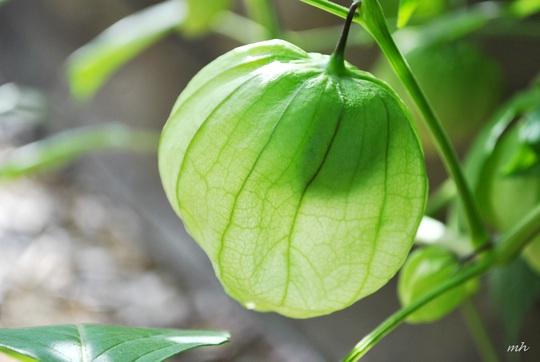 Tầm bóp: Ở Việt Nam là quả dại, ở Nhật bán 700.000 đồng/kg - Ảnh 5.