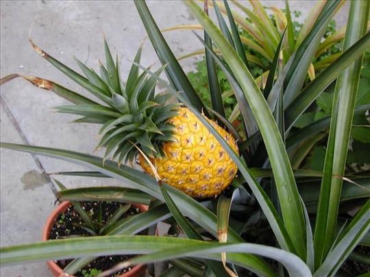 10 loại cây vừa cho ăn trái vừa làm đẹp sân vườn - Ảnh 5.