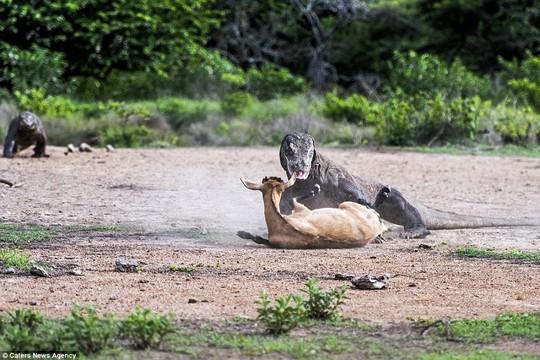 Chùm ảnh rồng Komodo tấn công con mồi - Ảnh 6.