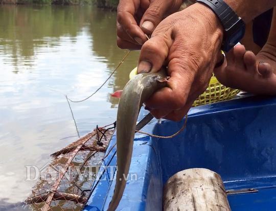 Săn cá ngát trên sông ở Cà Mau - Ảnh 2.