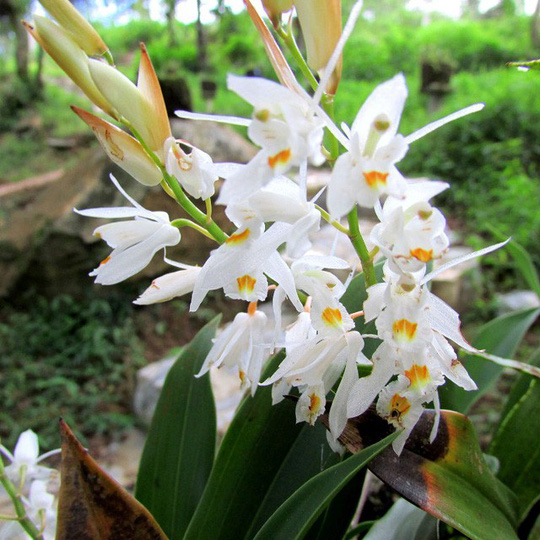Chiêm ngưỡng hoa phong lan rừng Sa Pa - Ảnh 6.