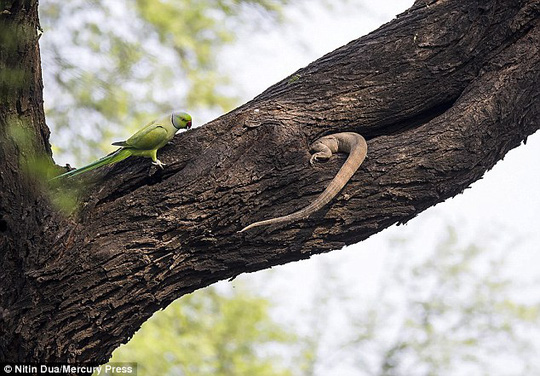 Xúc động tình mẫu tử của loài chim vẹt đuôi dài - Ảnh 7.