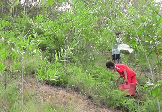 Đổ xô lên rừng hái sim, kiếm 700.000 đồng/ngày - Ảnh 3.