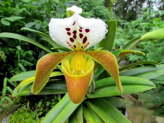Chiêm ngưỡng hoa phong lan rừng Sa Pa - Ảnh 9.