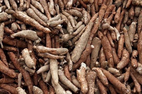 Nông dân trồng mì bị thiệt hại kép - Ảnh 2.