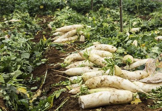 Cả cánh đồng ngập trắng củ cải bị vứt bỏ vì không ai mua - Ảnh 11.