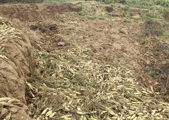 Cả cánh đồng ngập trắng củ cải bị vứt bỏ vì không ai mua - Ảnh 8.