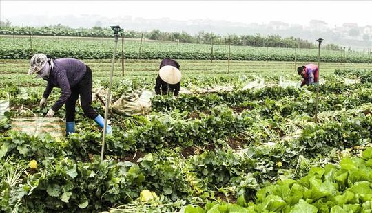 Cả cánh đồng ngập trắng củ cải bị vứt bỏ vì không ai mua - Ảnh 10.