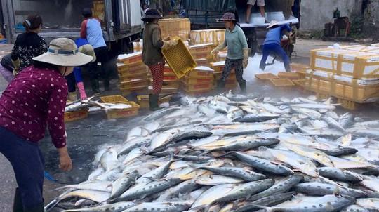 Một tàu cá ở Quảng Ngãi gặp đàn cá khủng khi vừa ra cửa biển - Ảnh 3.