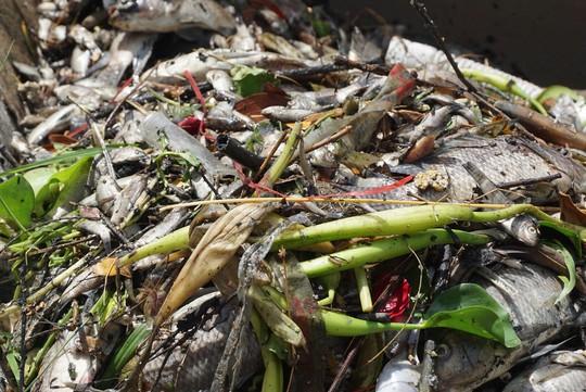 Đà Nẵng: Cá chết nổi lềnh bềnh trên sông Phú Lộc nghi do ô nhiễm - Ảnh 2.