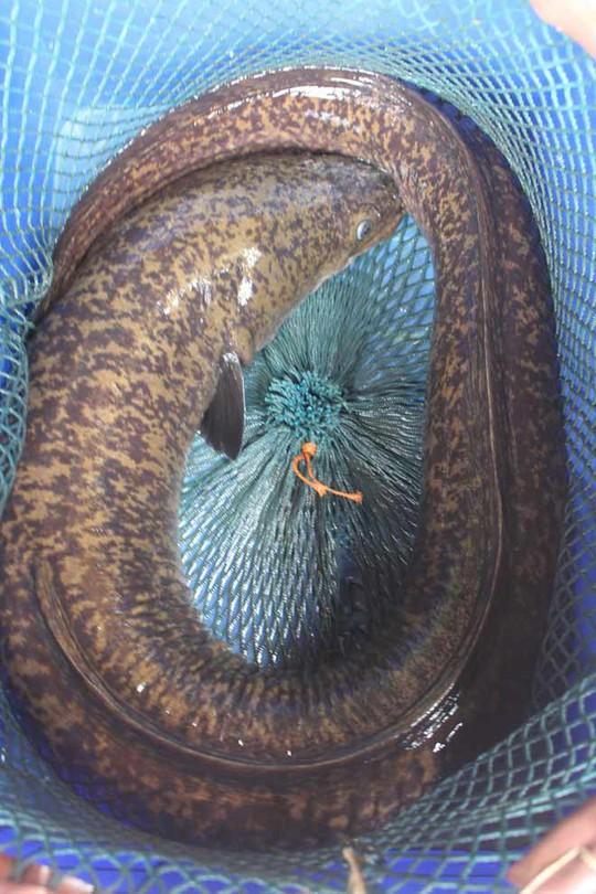 Bắt được cá chình to chưa từng thấy trên sông Nậm ở Nghệ An - Ảnh 1.